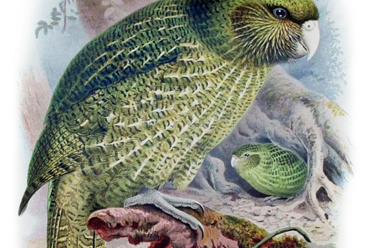 Buller_Kakapo